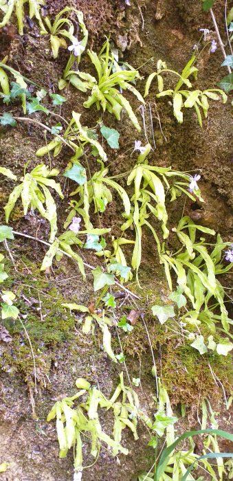 Pinguicula Longuifolia